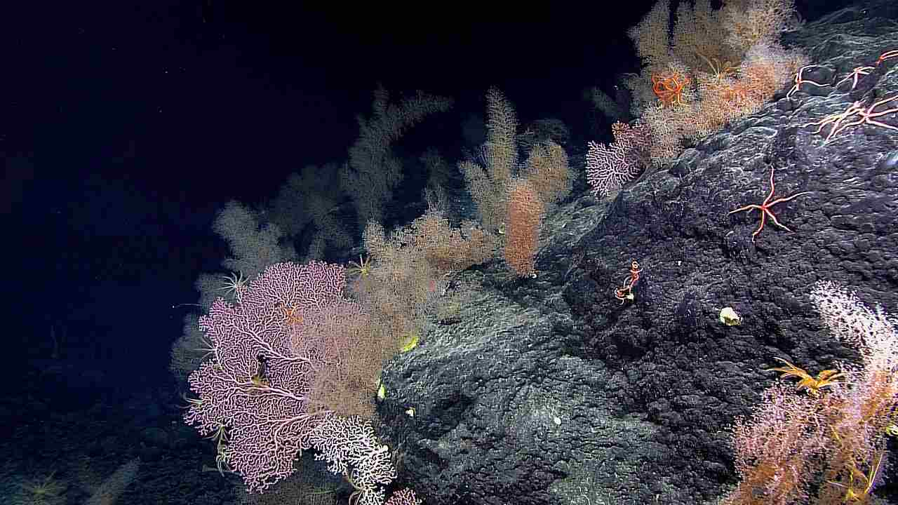 A garden of coral on the Sibelius Seamount at a depth of 2465 m or 8087 ft